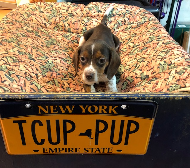 Available Puppies | Queens Puppies and more